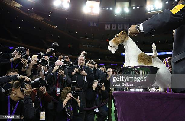Wire Fox Terrier named Sky poses for photographers after winning the 138th Annual Westminster Kennel Club Dog Show on February 11 2014 in New York...