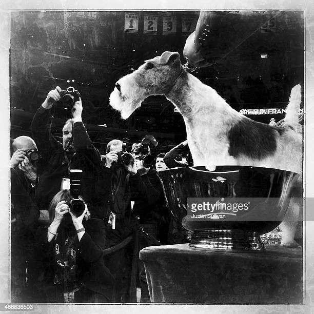 A Wire Fox Terrier named Sky poses for photographers after winning the 138th Annual Westminster Kennel Club Dog Show on February 11 2014 in New York...