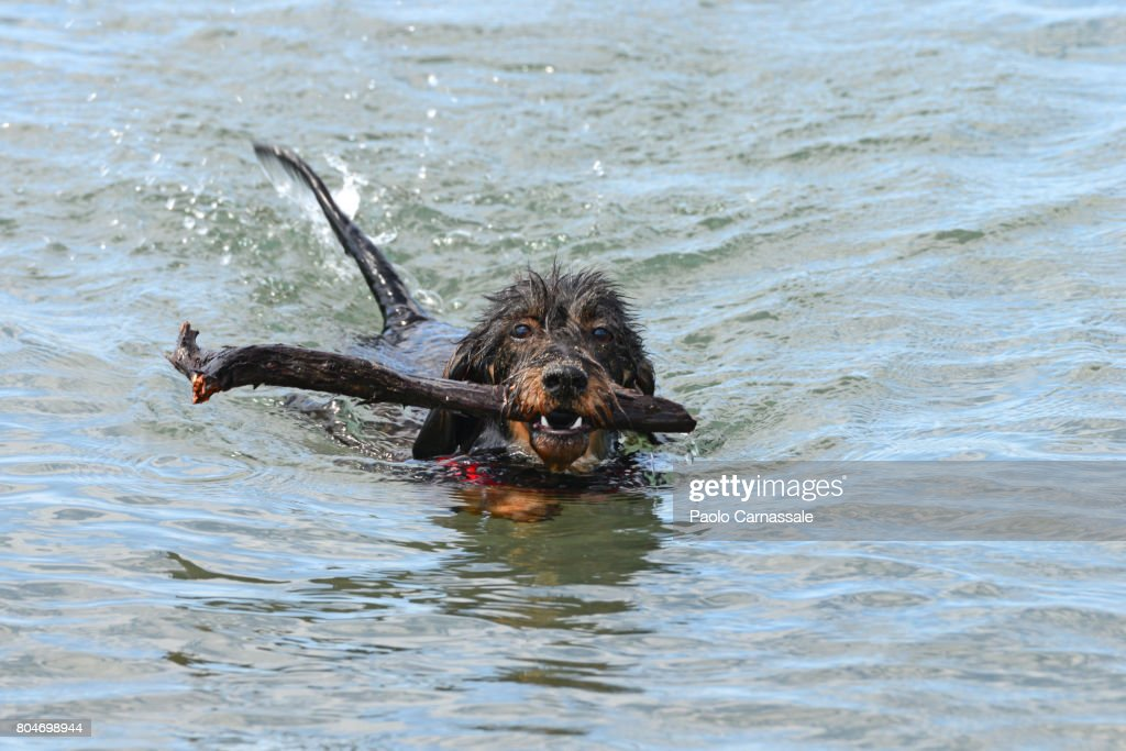 Wirehaired Dachshund Carrying Stick In Mouth While Swimming In Water ...