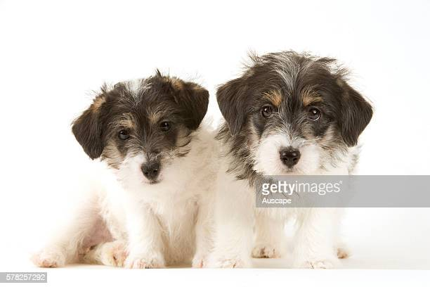 griffon terrier ストックフォトと画像 getty images