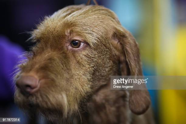 Wirehaired Vizsla sits in the grooming area at the 142nd Westminster Kennel Club Dog Show at The Piers on February 13 2018 in New York City The show...