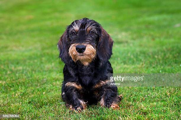 Wirehaired / Wirehaired Dachshund pup lying on lawn in garden