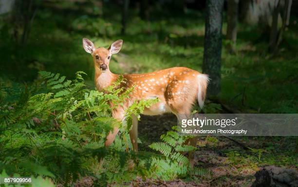 wisconsin deer - fawn 2 - white tail deer stock photos and pictures