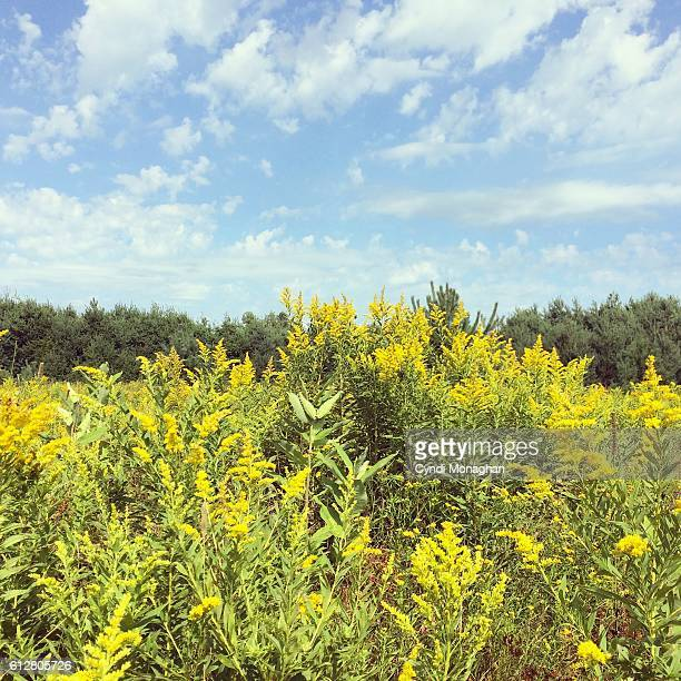 wisconsin golden meadow - goldenrod stock pictures, royalty-free photos & images