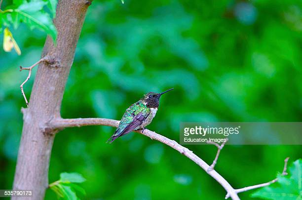 Wisconsin Roberts Rubythroated Hummingbird