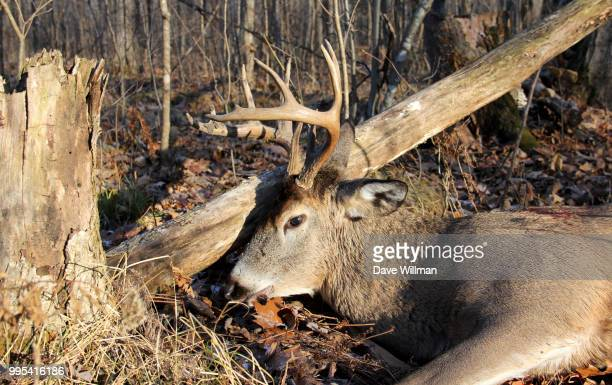 wisconsin whitetail buck shot hunting - reid,_wisconsin stock pictures, royalty-free photos & images