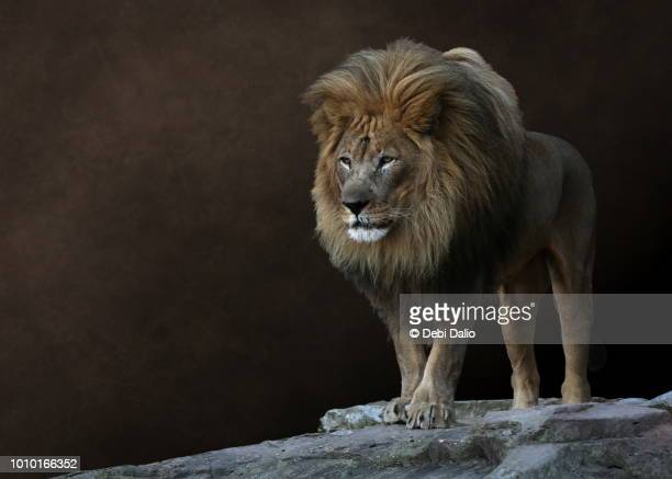 wise old male lion - guarding stock photos and pictures