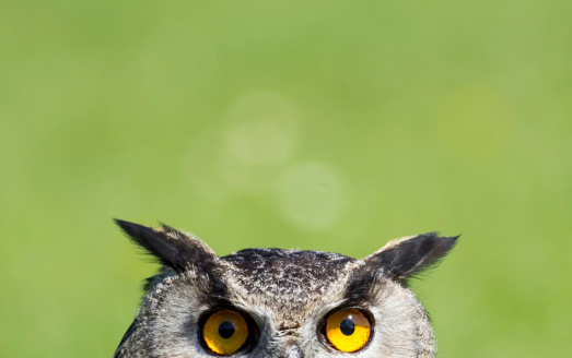 Wise Old Owl Stare 179144065