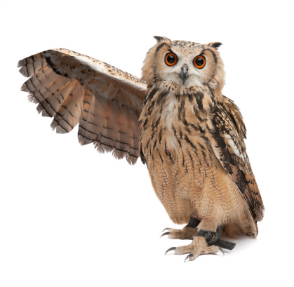 Wise owl 155599332