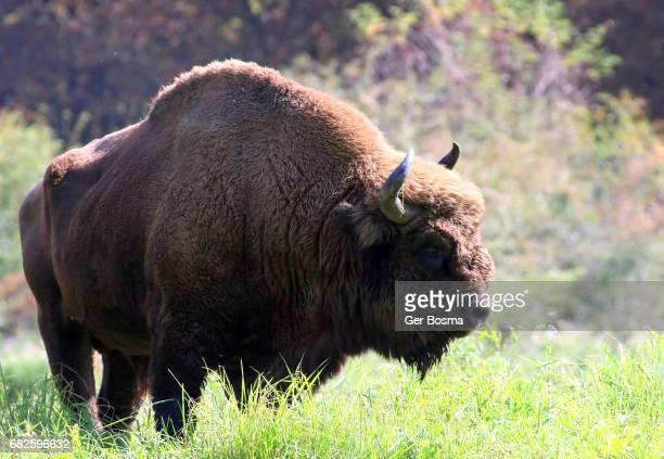 Wisent Bull In Profile
