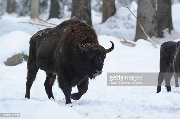 Wisent (Bison bonasus) in snow