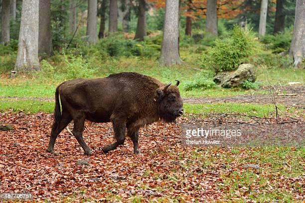 Wisent or European Bison -Bison bonasus-, Bavarian Forest National Park game reserve, Neuschoenau, Lower Bavaria, Bavaria, Germany