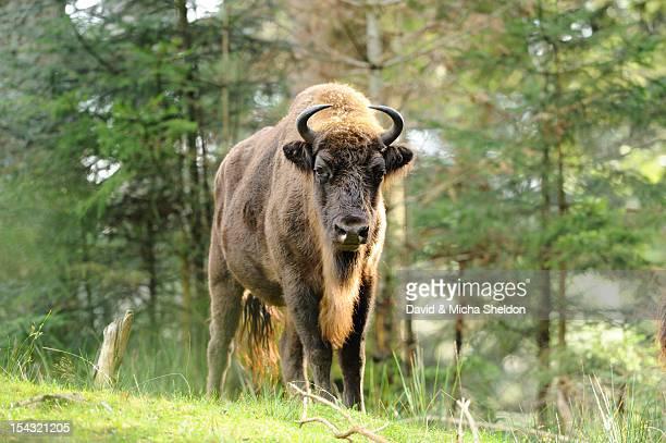 Wisent (Bison bonasus) standing