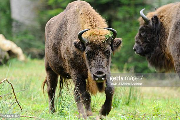 Wisents (Bison bonasus) on a meadow