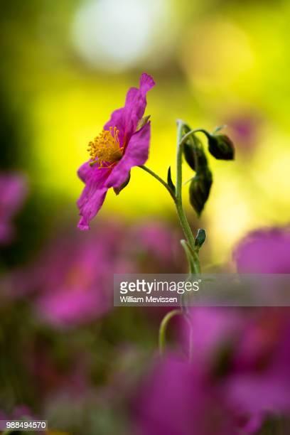 wisley pink - william mevissen fotografías e imágenes de stock