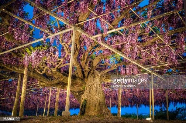 wisteria at night in ashikaga flower park, ashikaga, tochigi prefecture, japan - glycine photos et images de collection