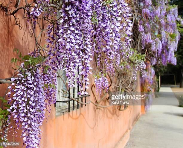 wisteria avenue