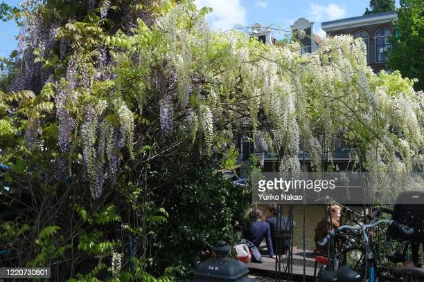 Wisteria bloom as people sit along a canal on May 11, 2019 in Amsterdam, Netherlands.