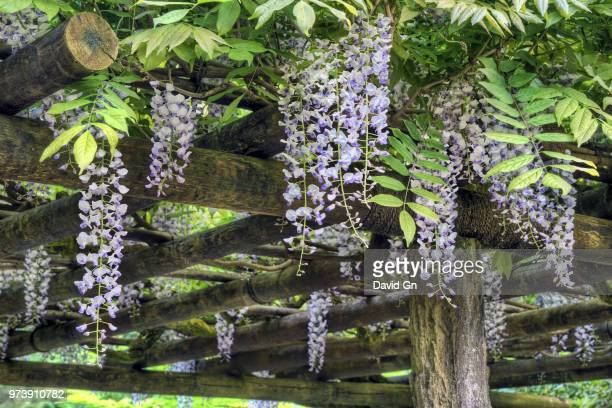wisteria blooming in portland japanese garden - glycine photos et images de collection