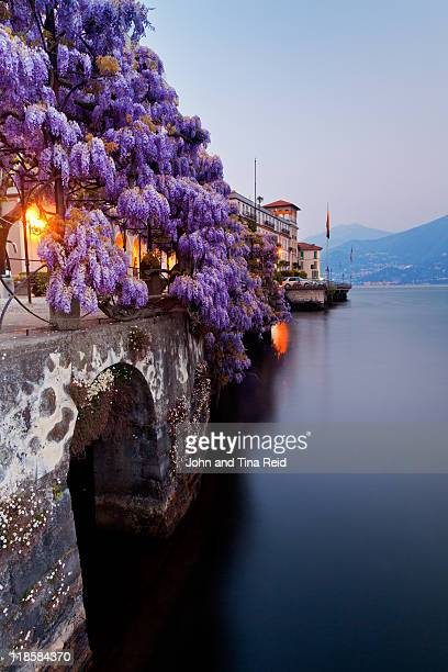 wisteria bush hanging over lake - lake como stock pictures, royalty-free photos & images