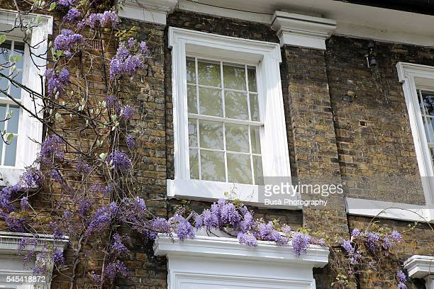 Wisteria crawling over their windows of a house, London