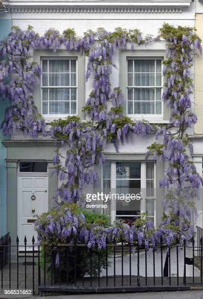 wisteria flowering in may - glicine foto e immagini stock