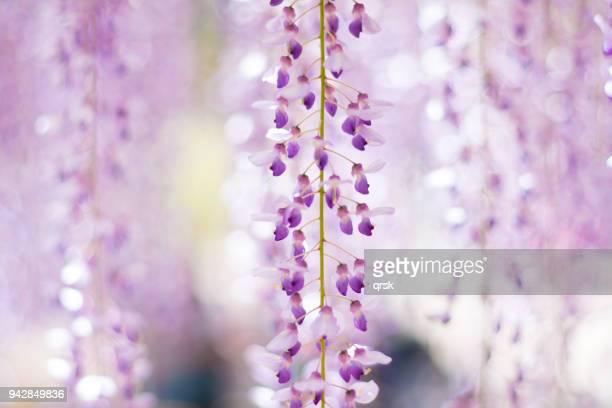wisteria flowers - glicine foto e immagini stock