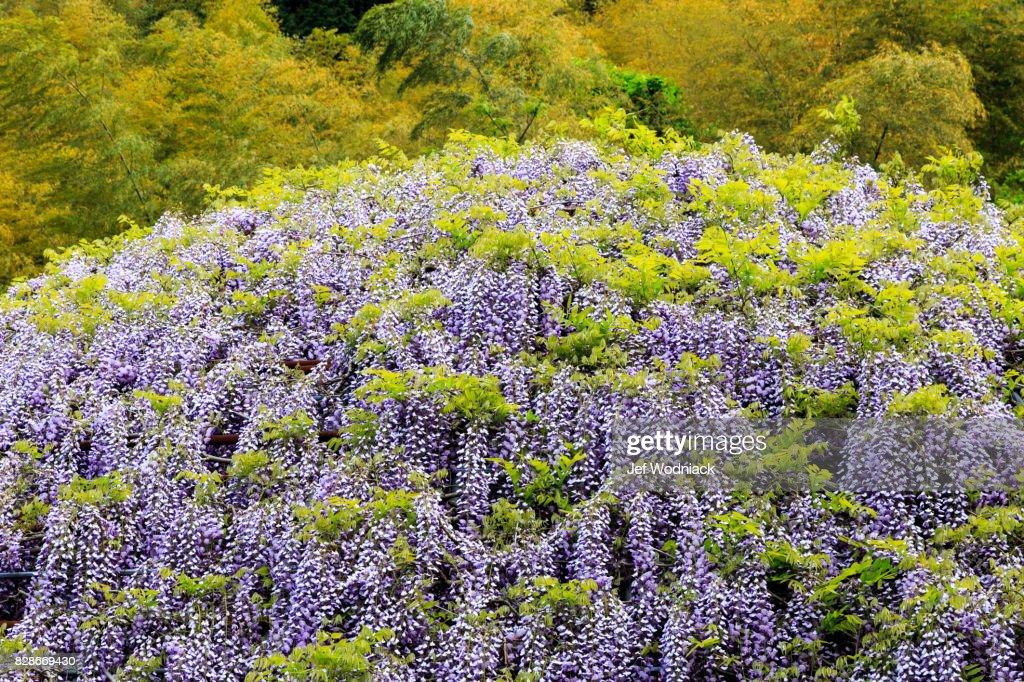 Wisteria Garden In Kawachi Japan Stock Photo | Getty Images