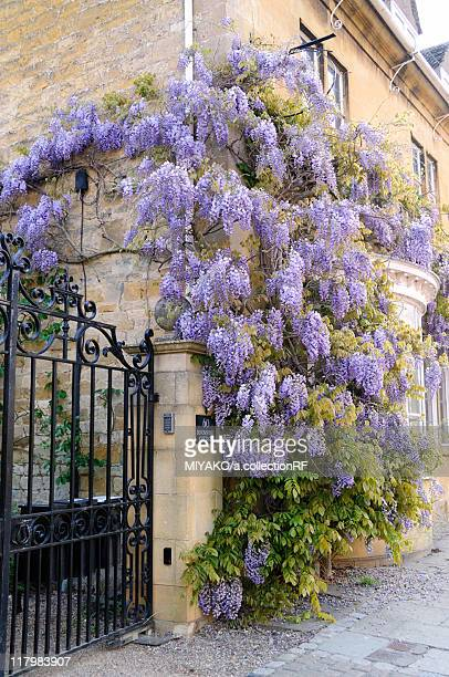 Wisteria Growing on House Wall