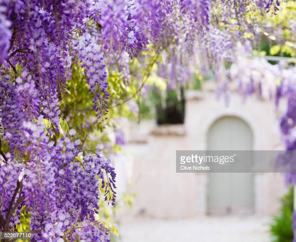 wisteria in a garden - glycine photos et images de collection