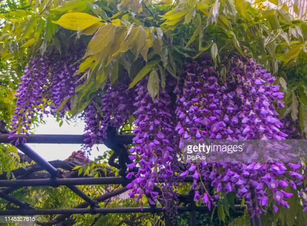 wisteria in bloom - glicine foto e immagini stock