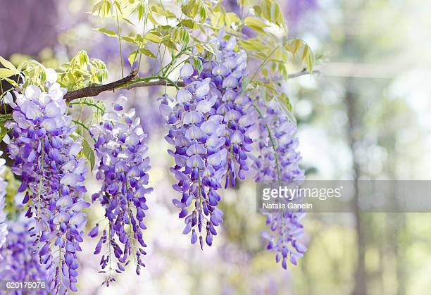 wisteria in bloom - glycine photos et images de collection