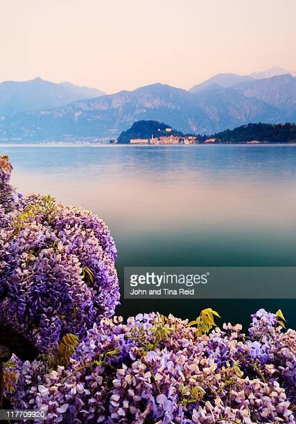 wisteria - lake como stock pictures, royalty-free photos & images