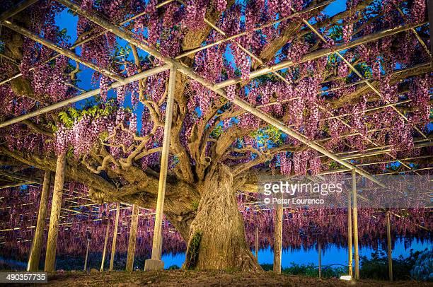 wisteria - peter lourenco stock-fotos und bilder