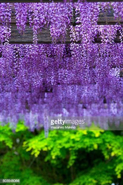 wisteria - glicine foto e immagini stock