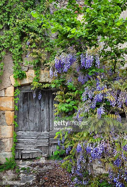 wisteria - aveyron stock pictures, royalty-free photos & images