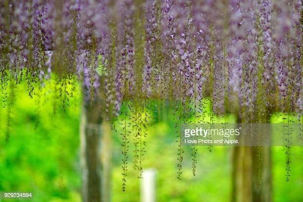 wisteria - may stock pictures, royalty-free photos & images