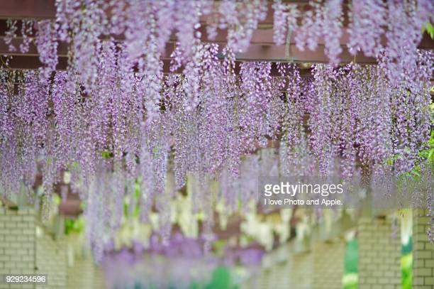 wisteria - 五月 ストックフォトと画像