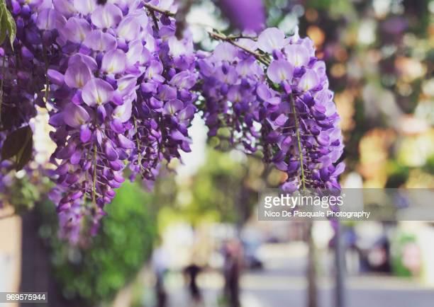 wisteria plant - glicine foto e immagini stock