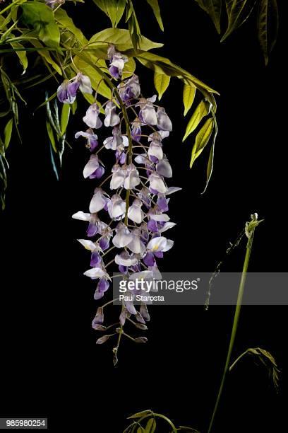 wisteria sinensis (chinese wisteria, chinese kidney bean) - glicine foto e immagini stock