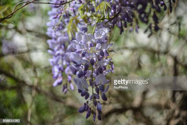 Wisteria sinensis with bee in Nea Artaki on Euboea Greece on March 27 2018