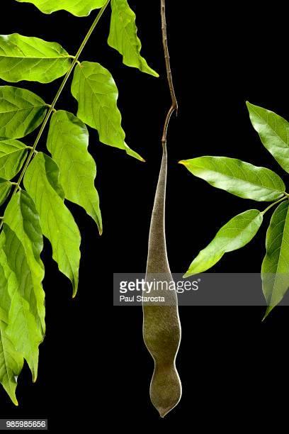 wisteria sp. (chinese wisteria, chinese kidney bean) - fruit - glicine foto e immagini stock