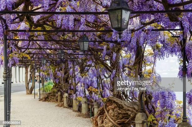 wisteria spring - glicine foto e immagini stock