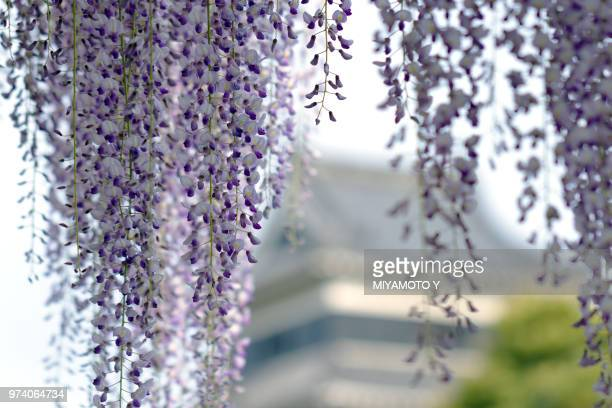 wisteria tree blossom, matsumoto, nagano, japan - miyamoto y ストックフォトと画像