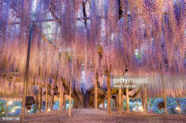 wisteria (wisteria sinensis) tree in bloom, tochigi, japan - glycine photos et images de collection