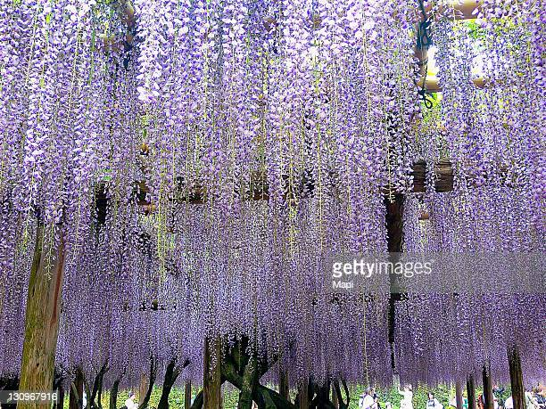 wisteria trellis in byodoin, kyoto - uji kyoto stock pictures, royalty-free photos & images