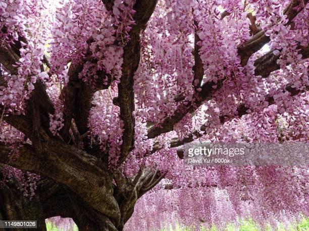wisteria vine in kawachi fuji garden, japan - 北九州市 ストックフォトと画像
