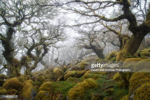 wistman's wood, dartmoor - woodland stock pictures, royalty-free photos & images