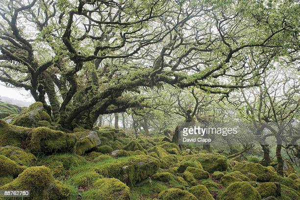 wistmans wood: prehistoric woodland of minature pendunculate oak (quercus robur) trees, dartmoor, devon, england - fossil stock pictures, royalty-free photos & images