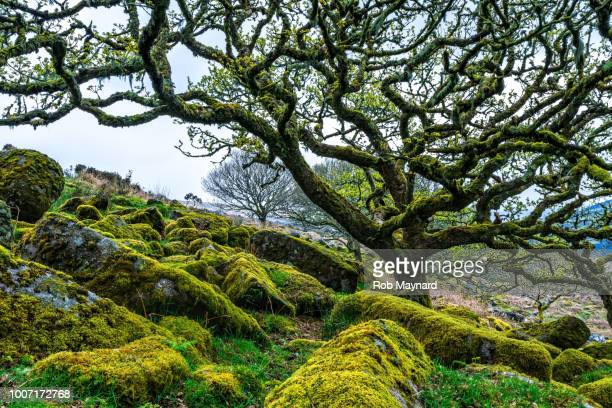 wistman's wood trees - oak wood material stock photos and pictures
